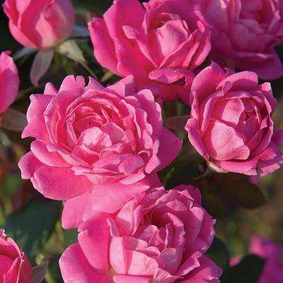 2 Gal. Pink Double Knock Out Rose - Live Blooming Shrub