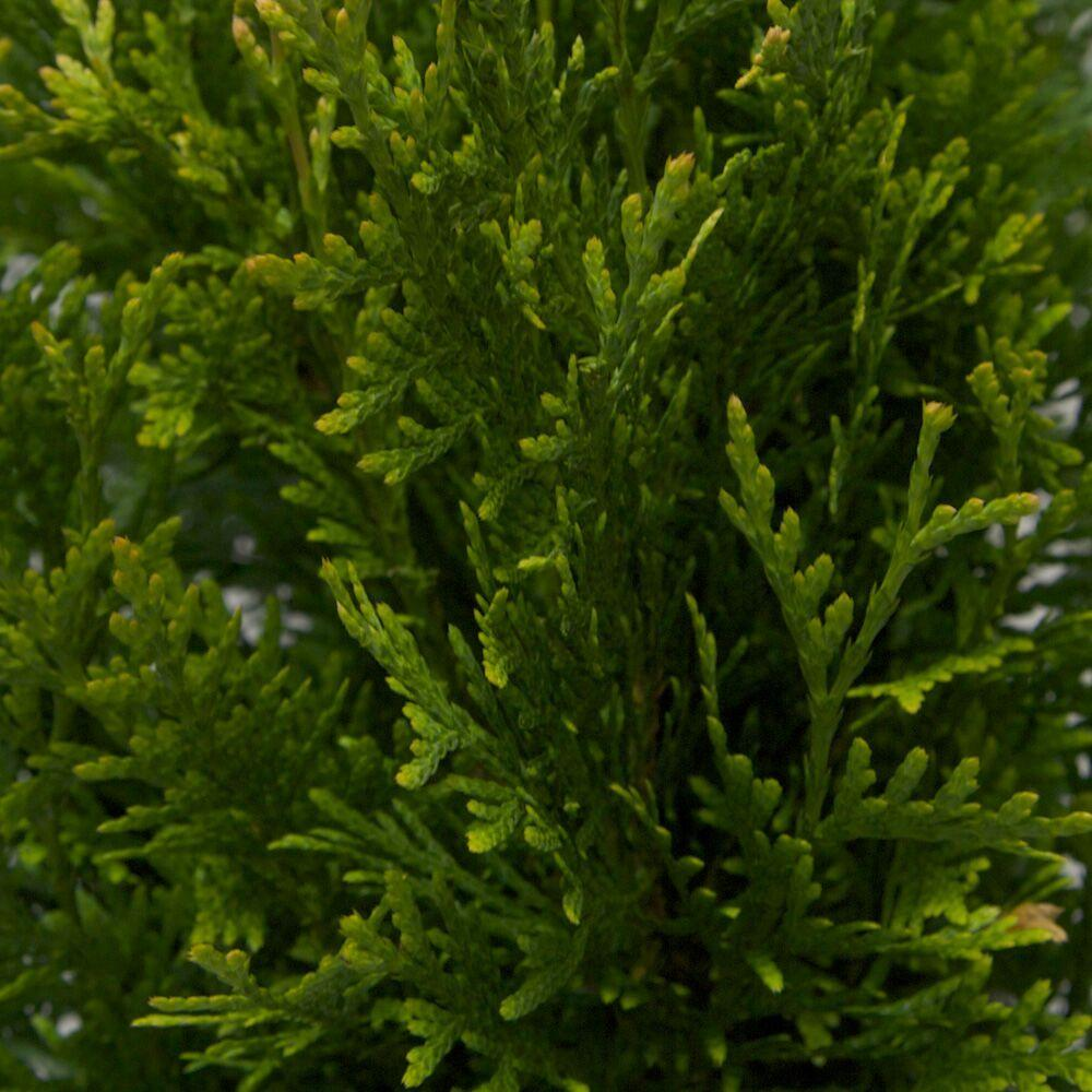 3 Gal. Green Giant Arborvitae(Thuja) Live Evergreen Tree, Green Foliage