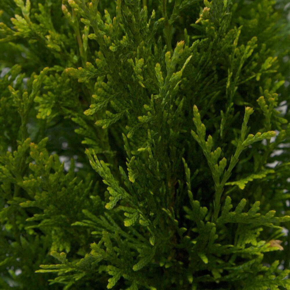 2 5 Qt Green Giant Arborvitae Thuja Live Evergreen Tree Foliage