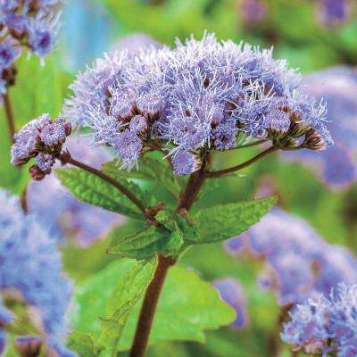 3 in. Pot Hardy Ageratum (Eupatorium) Live Potted Perennial Purple Flowers