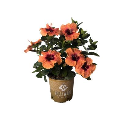 2 Gal. Hollywood Disco Diva Orange and Fuchsia Flower Annual Hibiscus Plant