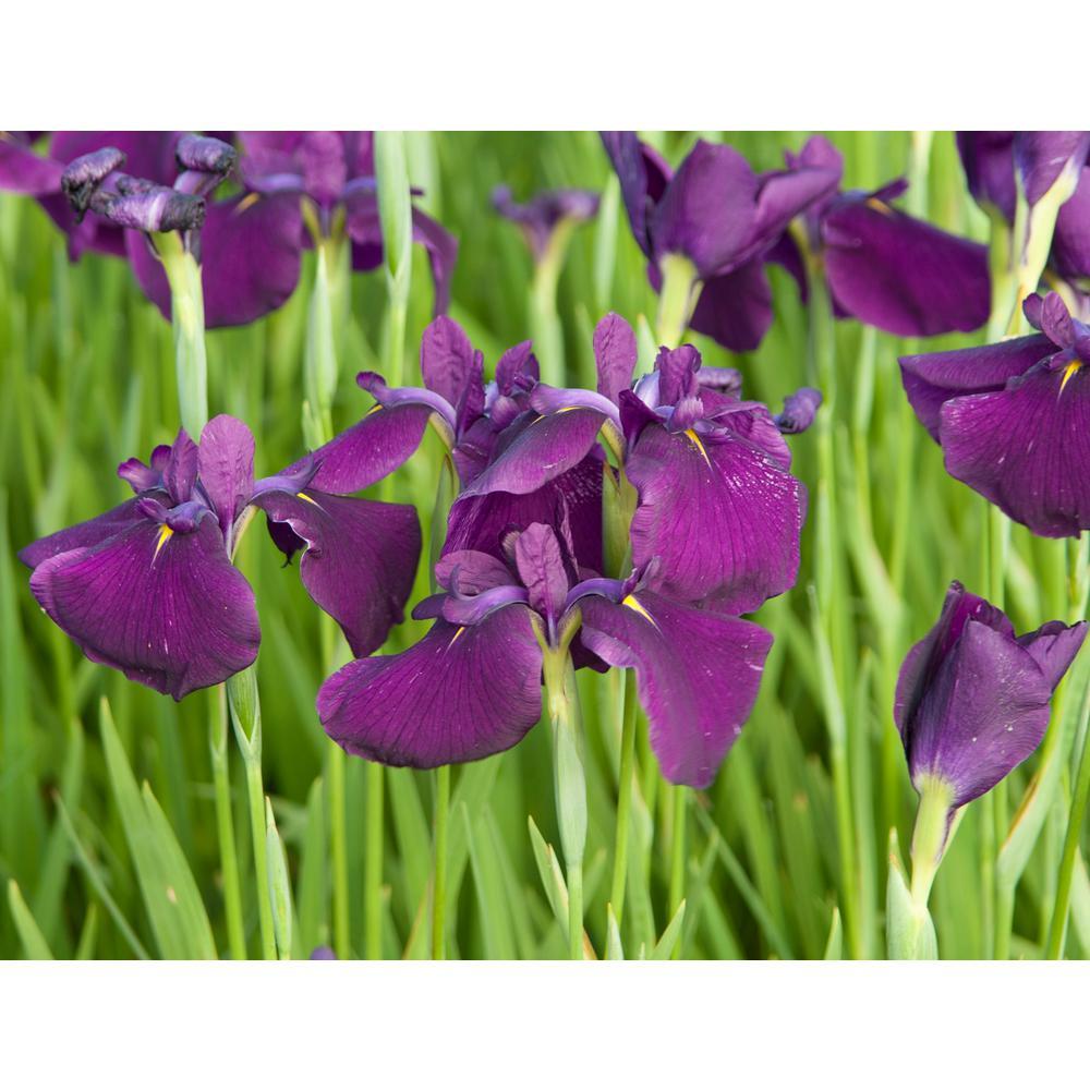 Van Zyverden Premium Series Pond Marginal Iris Ensata Royal Banner Kit