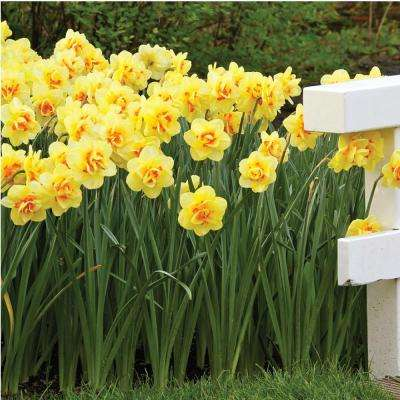 14 perennial flower bulbs garden plants flowers the home depot narcissus tahiti bulbs 100 pack mightylinksfo Gallery