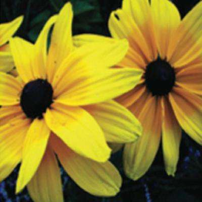 2.5 Qt. Indian Summer Rudbeckia(Black-eyed Susan) - Coneflower Plant with Yellow Blooms