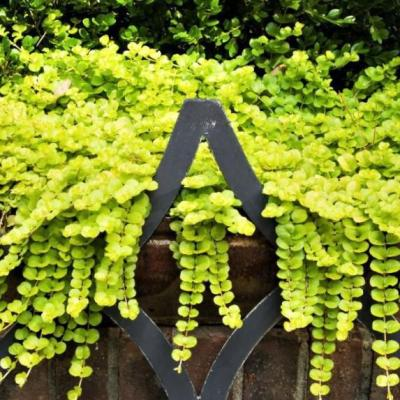 1.38 Pt. Creeping Jenny Lysimachia Plant in 4.5 In. Grower's Pot (4-Plants)