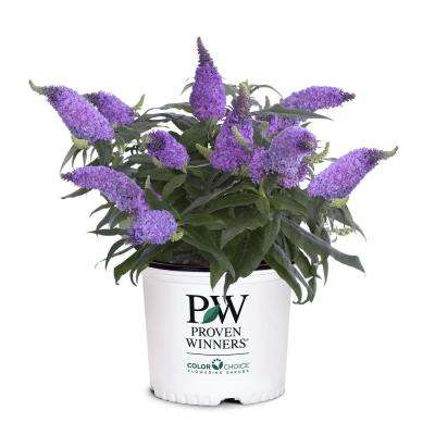 Proven Winner 2 Gal. Buddleia Pugster Amethyst Plant with Purple Flowers