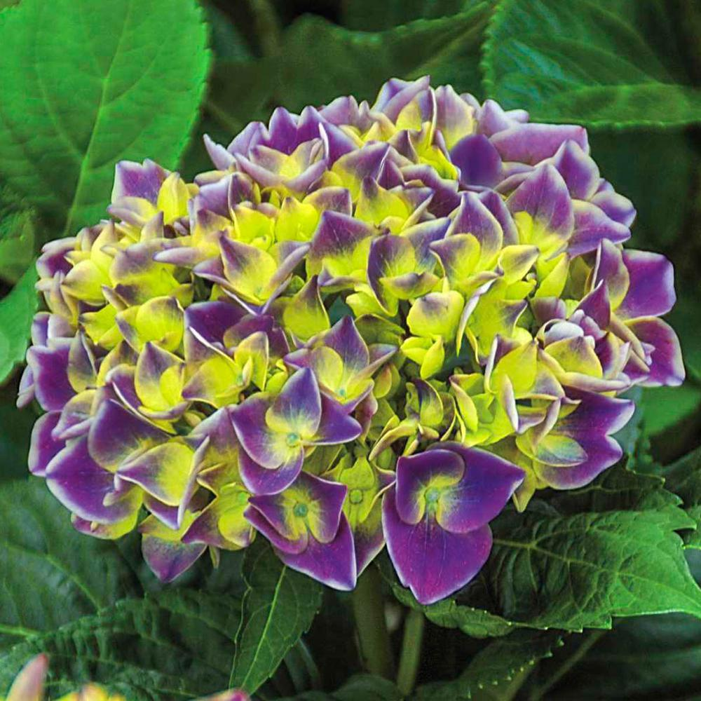 Spring Hill Nurseries 4 In Pot Violet Crown Hydrangea Live Potted
