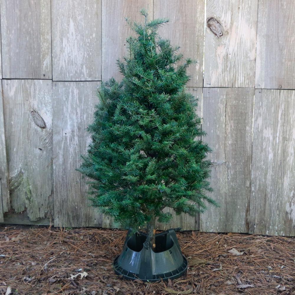 5 ft. Freshly Cut Douglas Fir Real Christmas Tree
