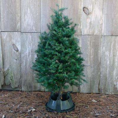 5 ft. Freshly Cut Douglas Fir Real Christmas Tree