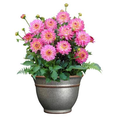 Dahlia Grow Kit with 12 in. Alena Planter in Distressed Galvanized Finish