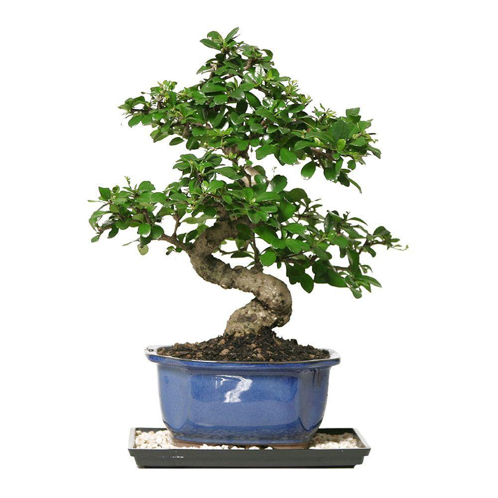 brussel 39 s bonsai fukien tea bonsai ct 0116ft the home depot. Black Bedroom Furniture Sets. Home Design Ideas