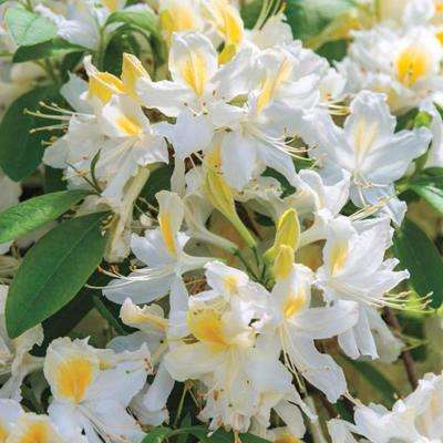 2 in. Pot Northern Hi-Lights Azalea (Rhododendron), Live Deciduous Plant, White and Gold Flowering Shrub (1-Pack)