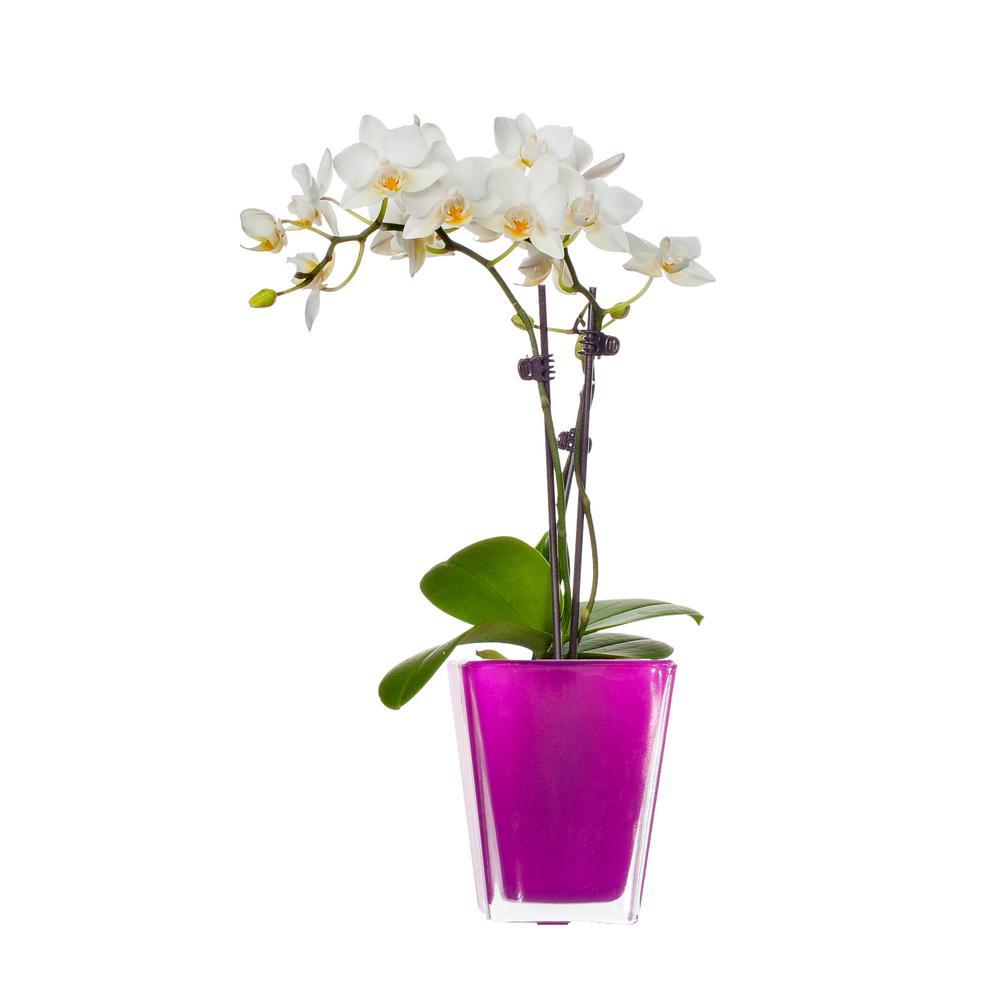 White Mini Orchid Plant in Glass Pot