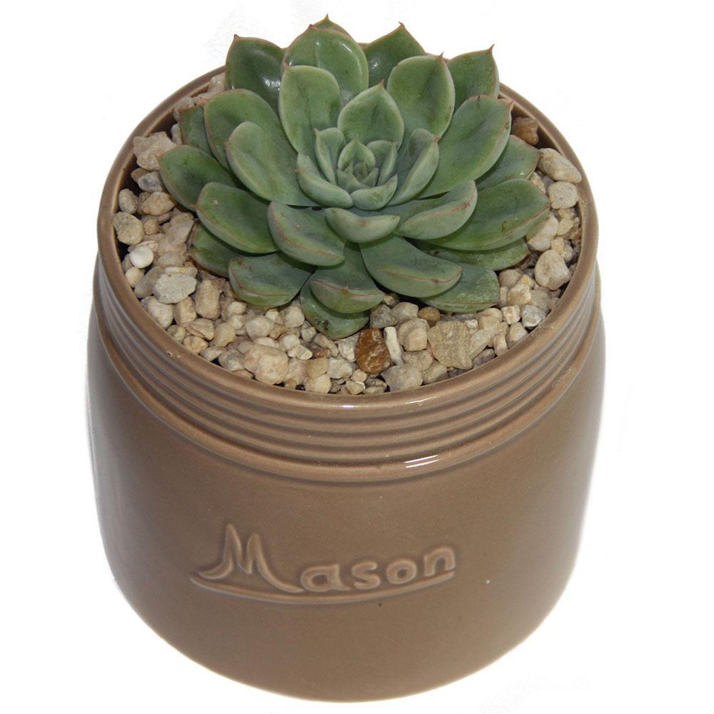 Echeveria Succulent in 4.5 in. Mason Jar Tan