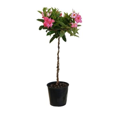 2 Gal. 9.25 in. Pink Mandevilla Topiary Plant in Grower Pot