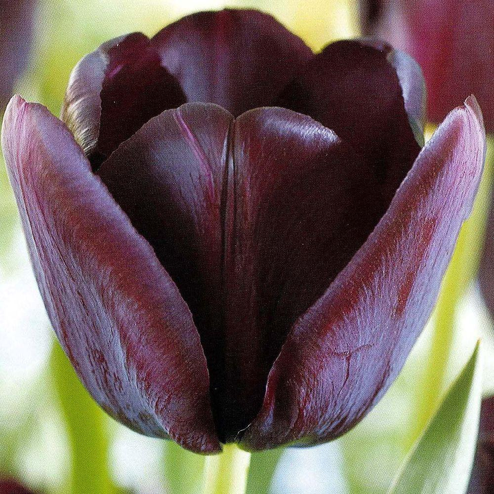 null Tulip Queen Of Night Dormant Bulbs (20-Pack)-DISCONTINUED