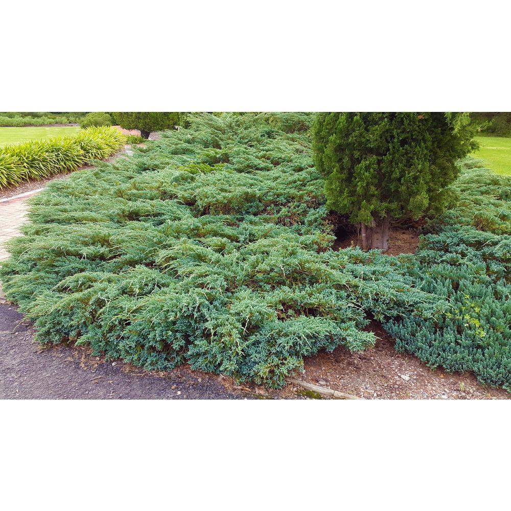 1 Gal. Blue Rug Juniper Shrub Unique Blue Evergreen Ground Cover Shrub, Drought Tolerant