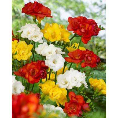 Double Freesia Mix (Pack of 20)