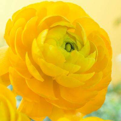 Butter Cups Ranunculus Double Yellow Bulbs (Set of 25)