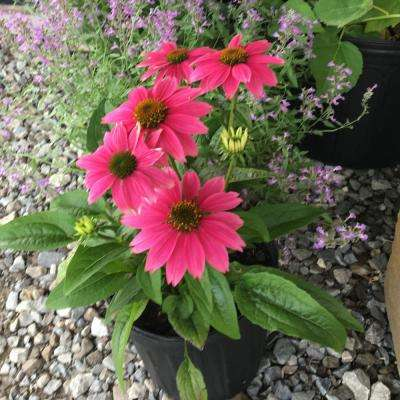 6 in. Pow Wow Wild Berry Purple Coneflower Plant