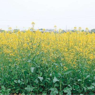 1 lb. Canola Cover Crop