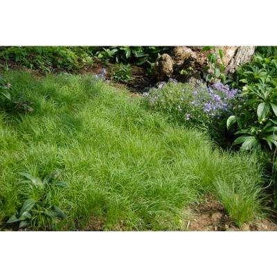 3 in. Pot Oak Sedge (Carex) Live Perennial Plant Bright Green Foliage