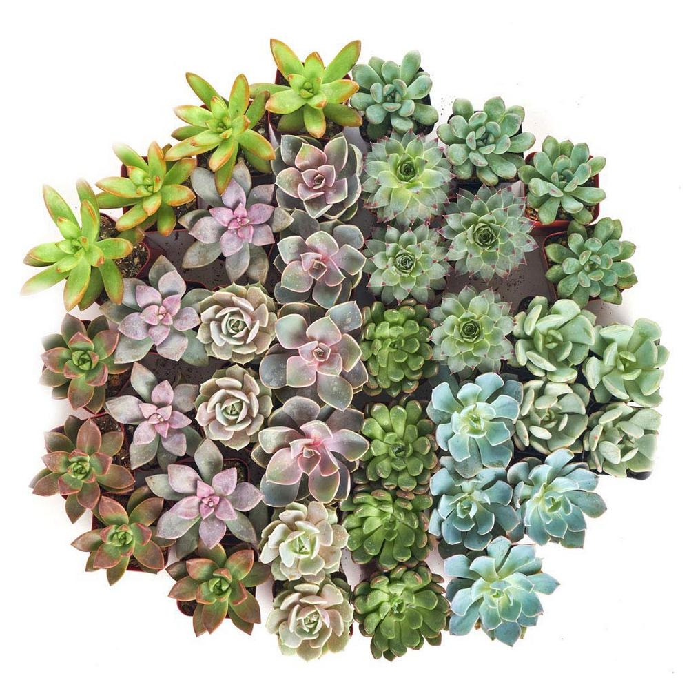 Shop Succulents 2 in. Rosette Succulent (Collection of 100)