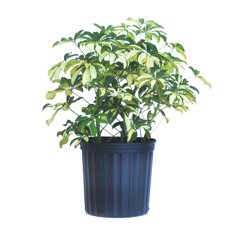 Schefflera Trinette Live Umbrella Plant Indoor Outdoor Houseplant in 9.25 in. Grower Pot 24 in. to 34 in. Tall