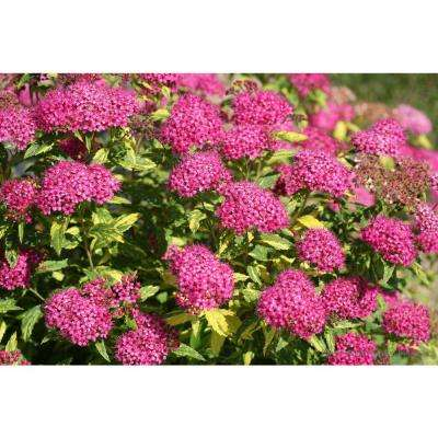 1 Gal.Double Play Painted Lady Spirea (Spiraea) Live Shrub, Pink Flowers and Variegated Foliage