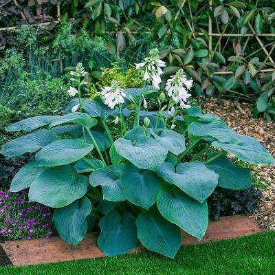 Bressingham Blue Hosta, Live Bareroot Plant, White Flowers with Blue Foilage Perennial (3-pack)
