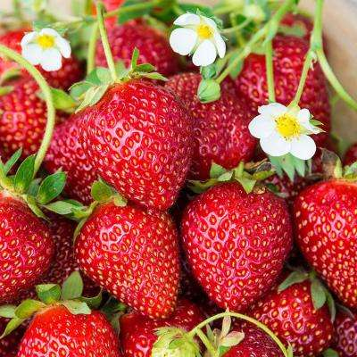 3 in. Pot Ozark Beauty Strawberry, Live Fruiting Plant (1-Pack)