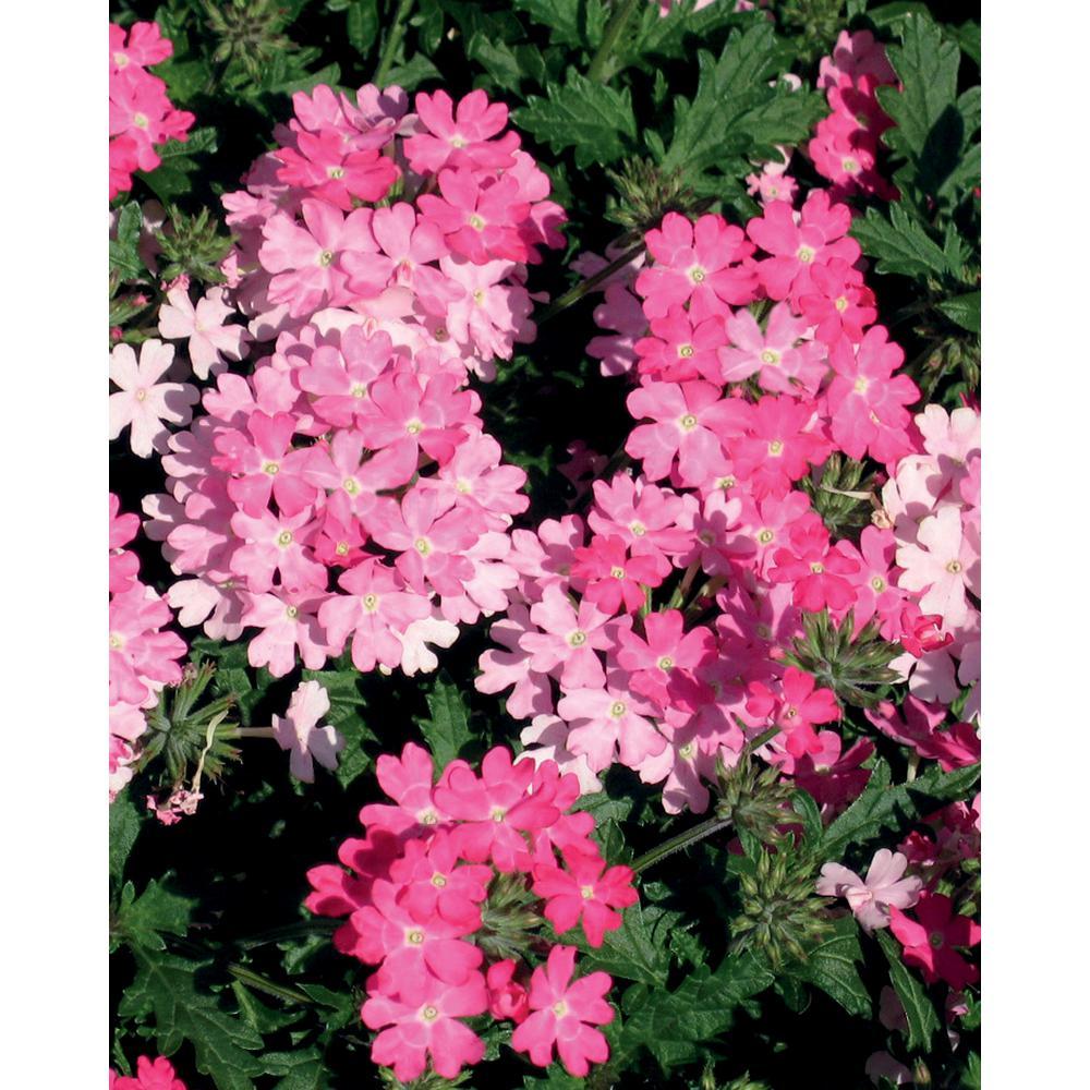 Proven winners lanai bright pink verbena live plant pink flowers proven winners lanai bright pink verbena live plant pink flowers 425 in mightylinksfo