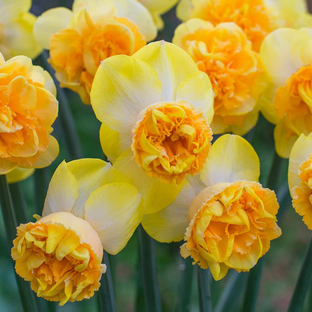 Daffodils Bulbs Art Perfume (Set of 8)