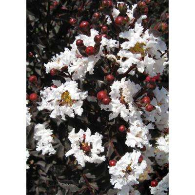 Black Diamond Pure White Crape Myrtle Dormant Packaged Tree