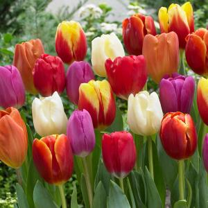 Van Zyverden Tulips Bulbs Triumph Mixture Set Of 50