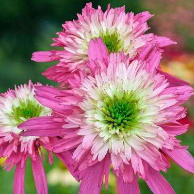 Mini Belle Coneflower (Echinacea) Live Bareroot Perennial with Pink Flowers (3-Pack)