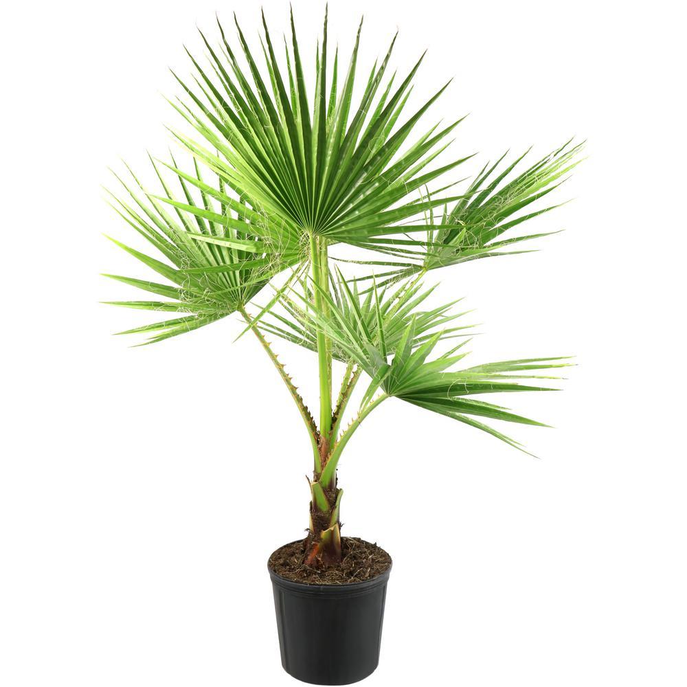 2 Gal. Washintonia Palm Tree