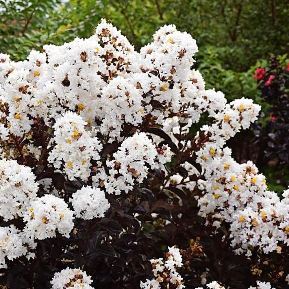 FIRST EDITIONS 3 Gal. First Editions Lunar Magic Crape Myrtle Tree