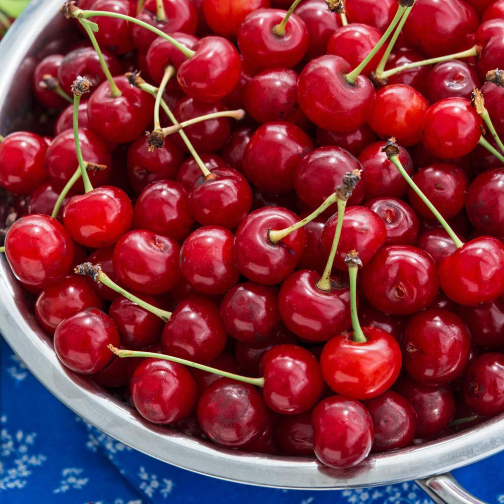 Montmorency Cherry (Prunus) Live Bareroot Standard Fruiting Tree (1-Pack)