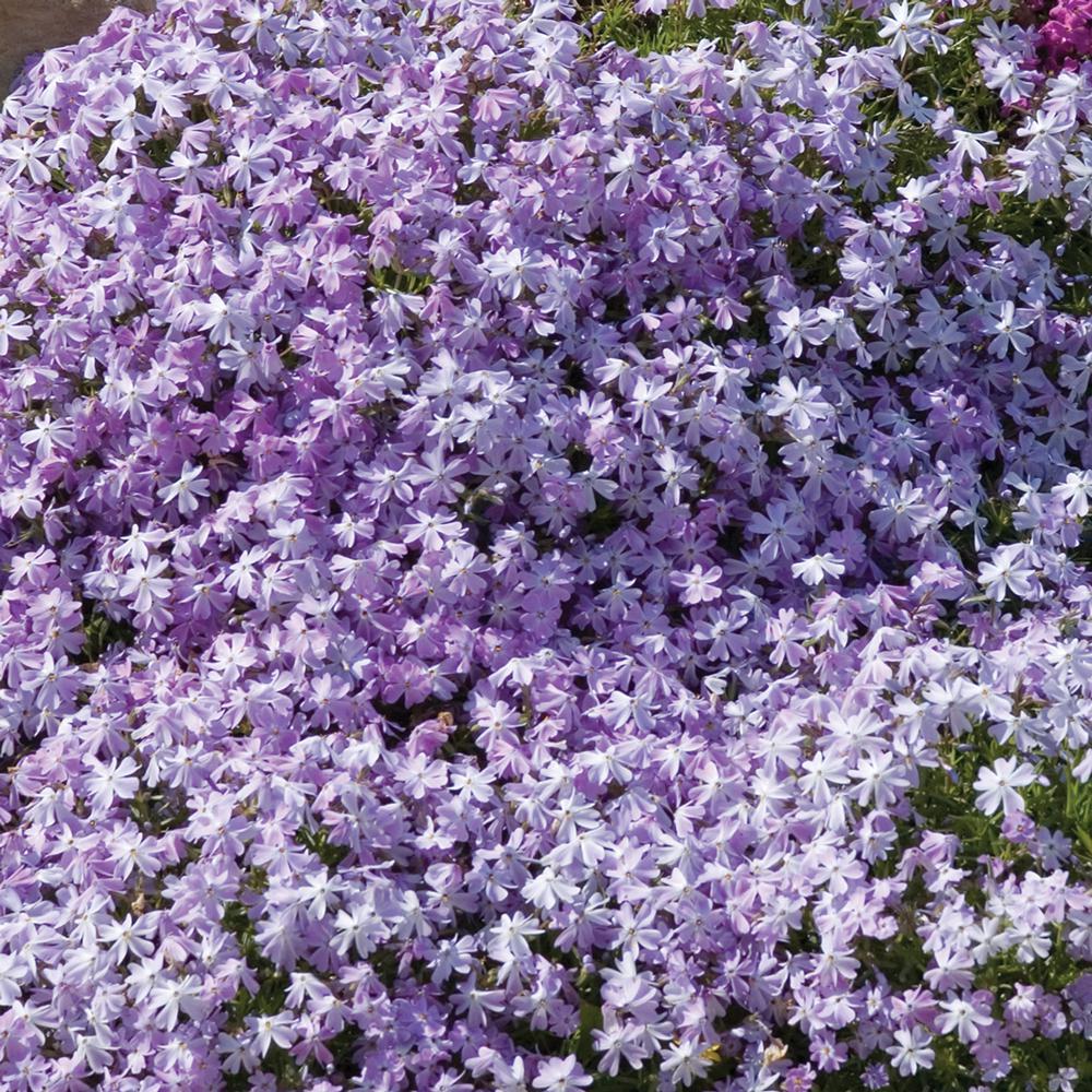 2. 5 Qt. Early Spring Lavender Creeping Phlox Plant