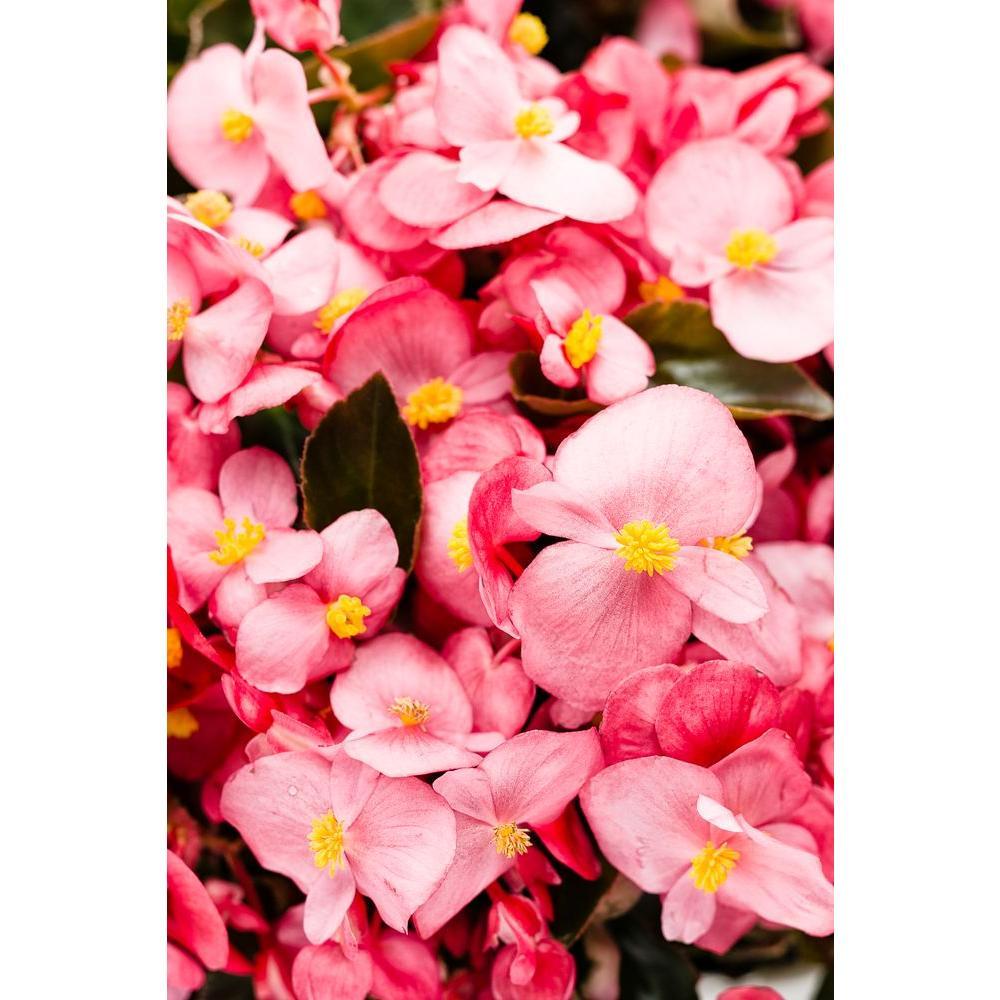 Surefire Rose (Begonia) Live Plant, Pink Flowers, 4.25in. Grande