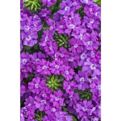 Superbena Violet Ice (Verbena) Live Plant, Purple Flowers, 4.25 In. Grande