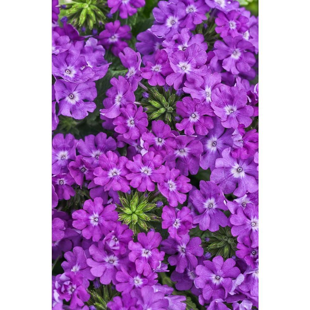 Superbena Violet Ice (Verbena) Live Plant,Purple Flowers, 4.25 in. Grande, 4-pack