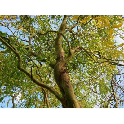 3 ft. - 4 ft. Tall Bare-Root Corkscrew Willow Tree