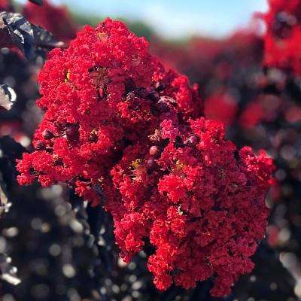 1 Gal. Crimson Red Black Diamond Crape Myrtle Tree