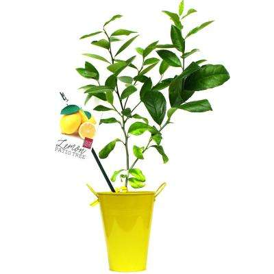 Lemon Citrus Tree In Decorative Patio Planter