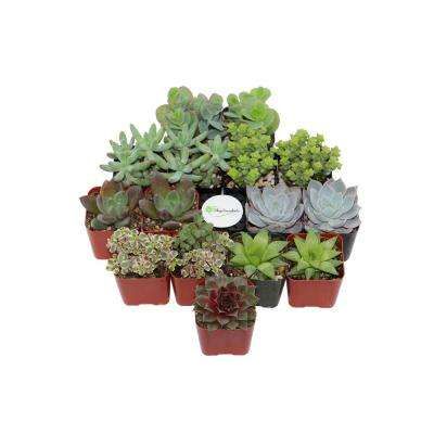2 in. Assorted Succulent (Collection of 15)