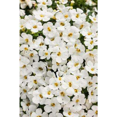 White annuals garden plants flowers the home depot snowstorm snow globe bacopa sutera live plant white flowers 425 in mightylinksfo Choice Image