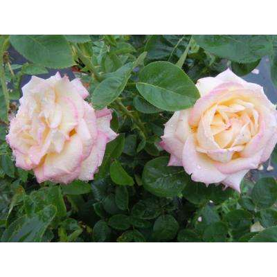 All Time Favorites Rose Peace