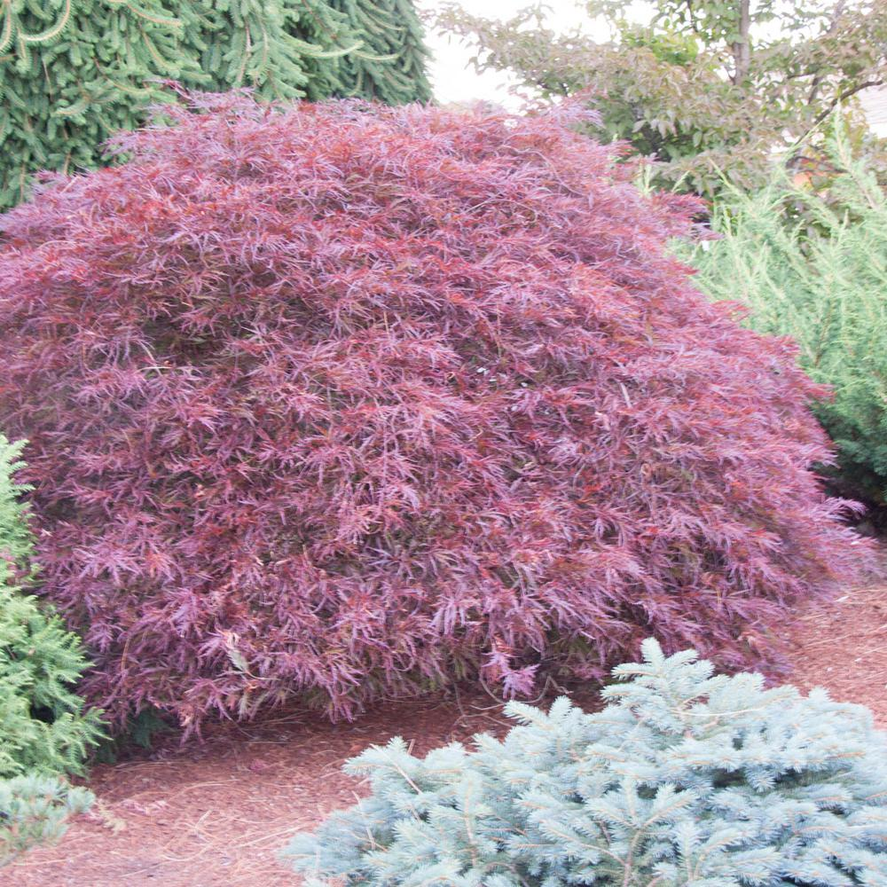 Spring Hill Nurseries 3 In Pot Red Foliage Red Dragon Japanese Maple Acer Tree Live Potted Tree 1 Pack